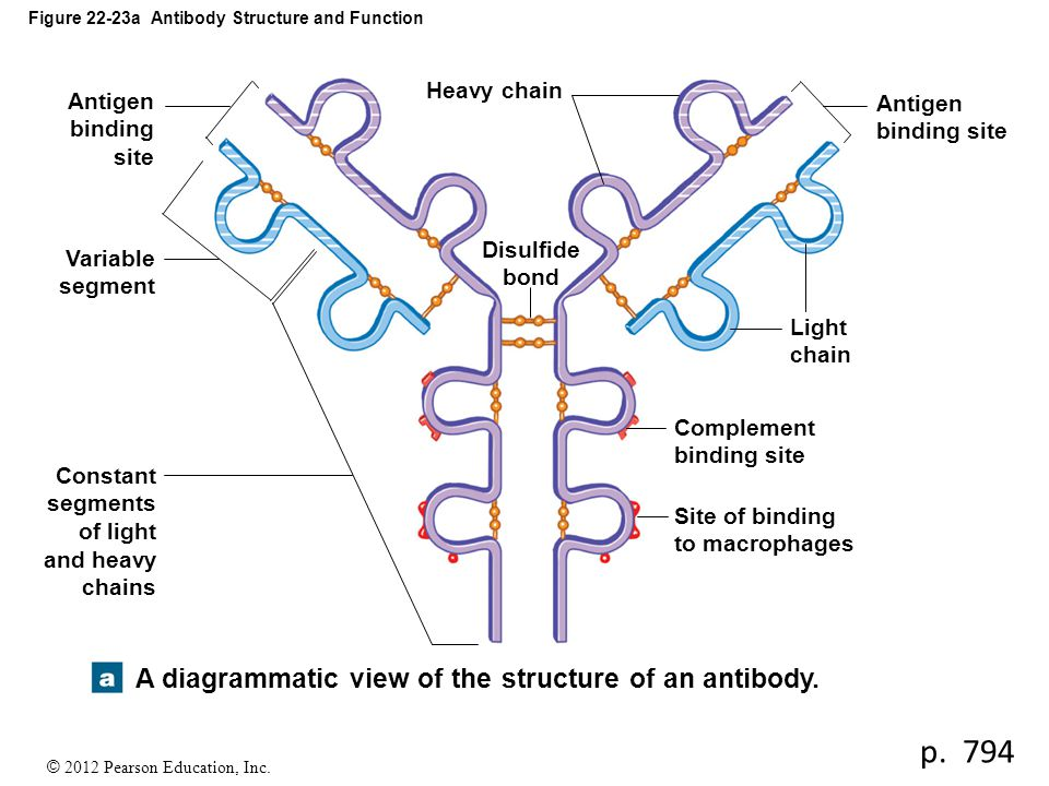© 2012 Pearson Education, Inc. Figure 22-23a Antibody Structure and Function Antigen binding site Variable segment Constant segments of light and heav