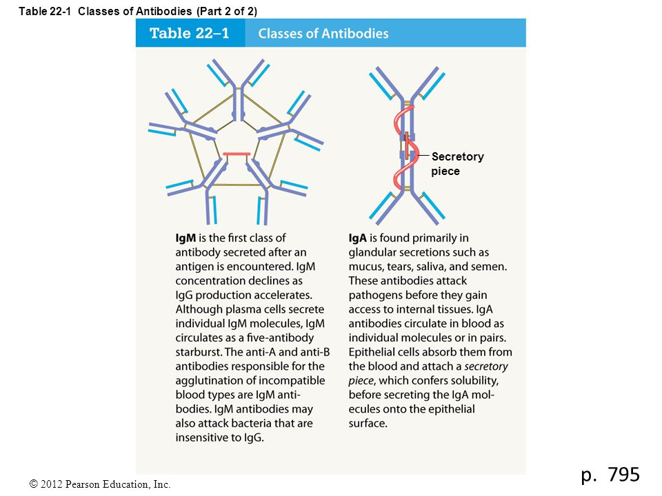 © 2012 Pearson Education, Inc. Table 22-1 Classes of Antibodies (Part 2 of 2) Secretory piece p. 795