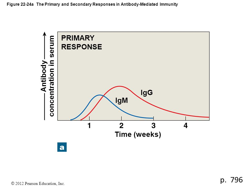 © 2012 Pearson Education, Inc. Figure 22-24a The Primary and Secondary Responses in Antibody-Mediated Immunity Time (weeks) IgG IgM Antibody concentra