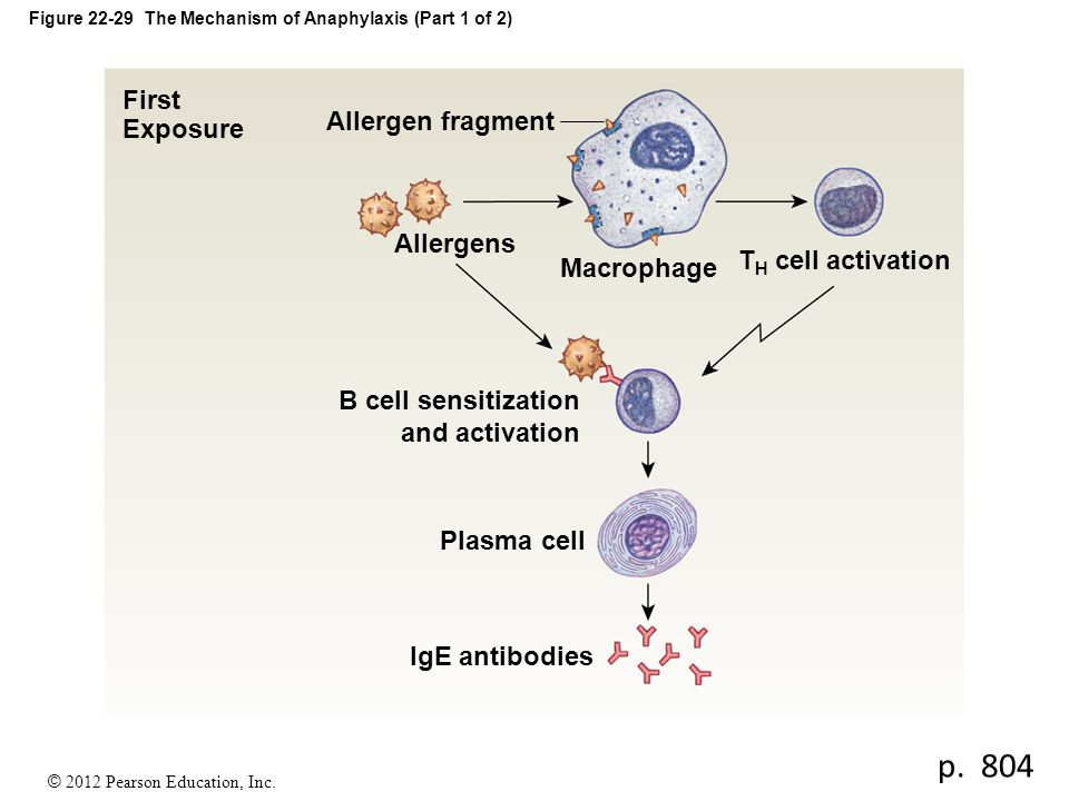 © 2012 Pearson Education, Inc. Figure 22-29 The Mechanism of Anaphylaxis (Part 1 of 2) First Exposure Allergen fragment Allergens Macrophage B cell se