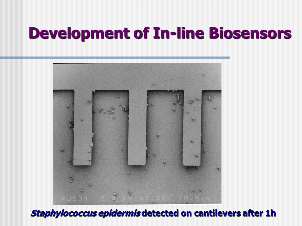Staphylococcus epidermis detected on cantilevers after 1h Development of In-line Biosensors