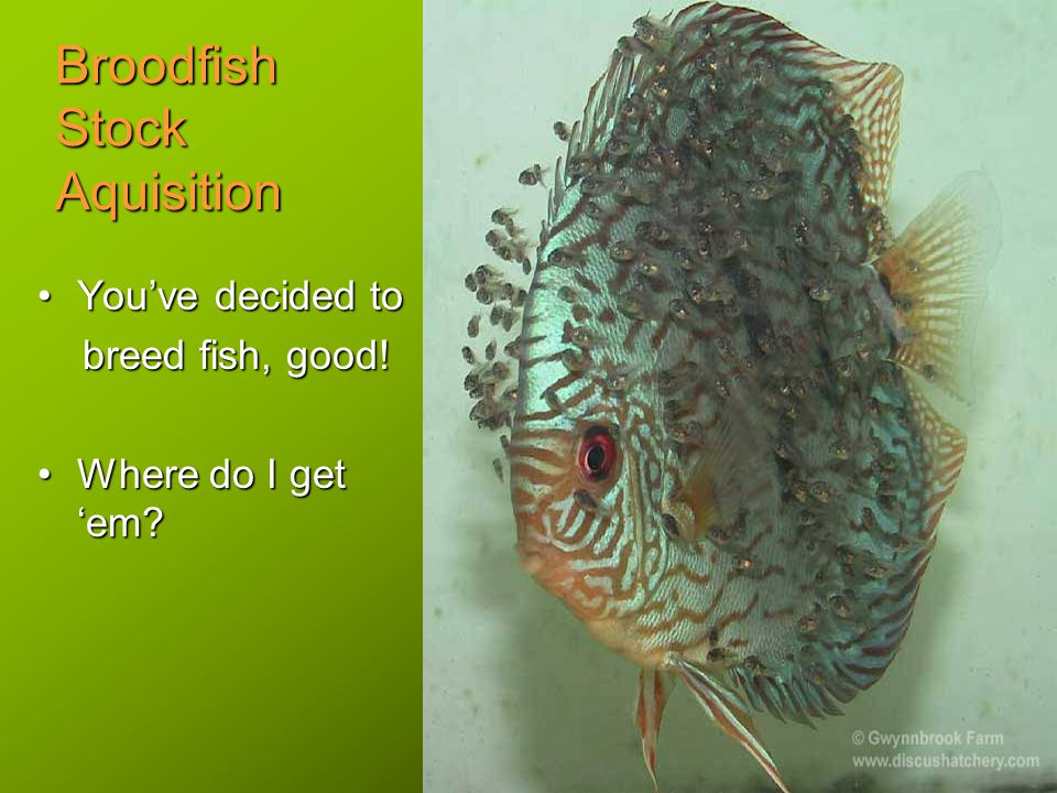 Broodfish Stock Aquisition You've decided toYou've decided to breed fish, good.
