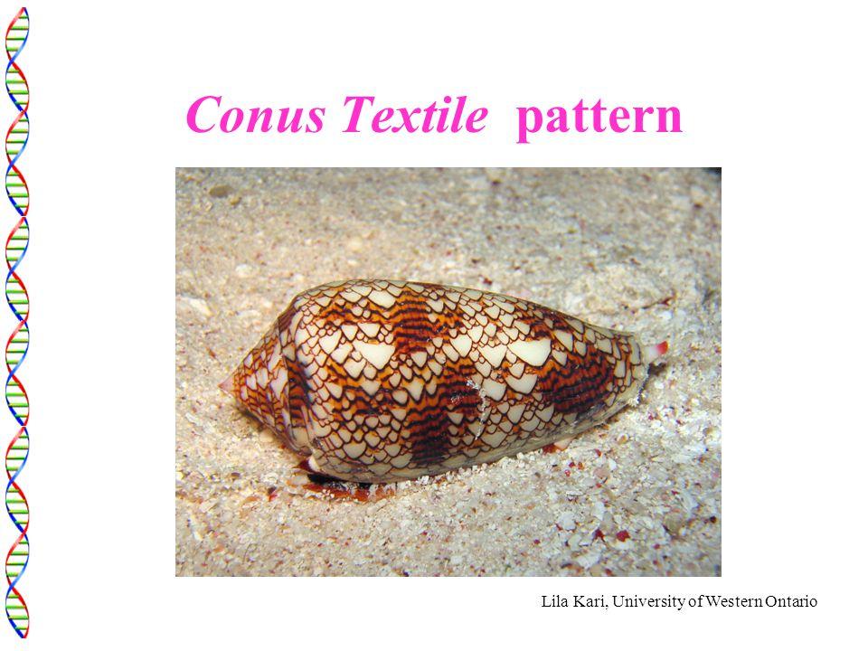 Lila Kari, University of Western Ontario Conus Textile pattern