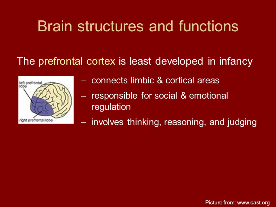 Brain structures and functions The prefrontal cortex is least developed in infancy –connects limbic & cortical areas –responsible for social & emotion