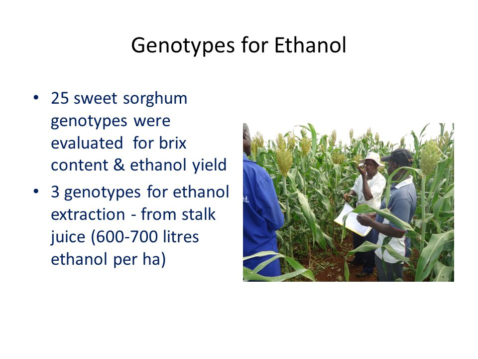 Genotypes for Ethanol 25 sweet sorghum genotypes were evaluated for brix content & ethanol yield 3 genotypes for ethanol extraction - from stalk juice (600-700 litres ethanol per ha)