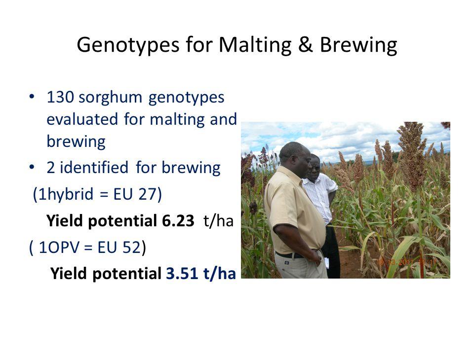 Genotypes for Malting & Brewing 130 sorghum genotypes evaluated for malting and brewing 2 identified for brewing (1hybrid = EU 27) Yield potential 6.23 t/ha ( 1OPV = EU 52) Yield potential 3.51 t/ha