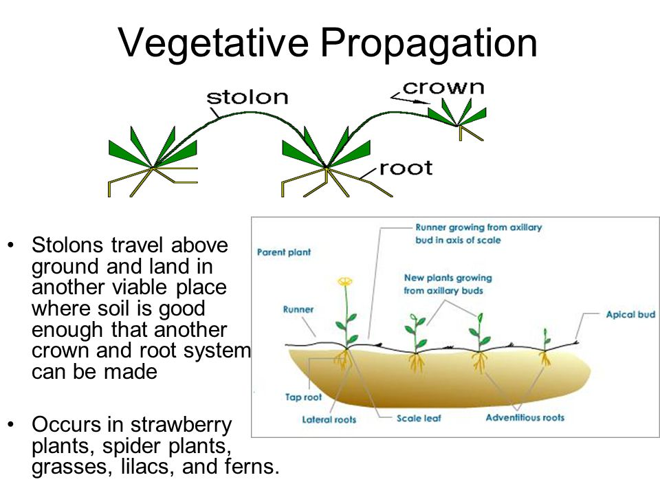 Vegetative Propagation Stolons travel above ground and land in another viable place where soil is good enough that another crown and root system can b