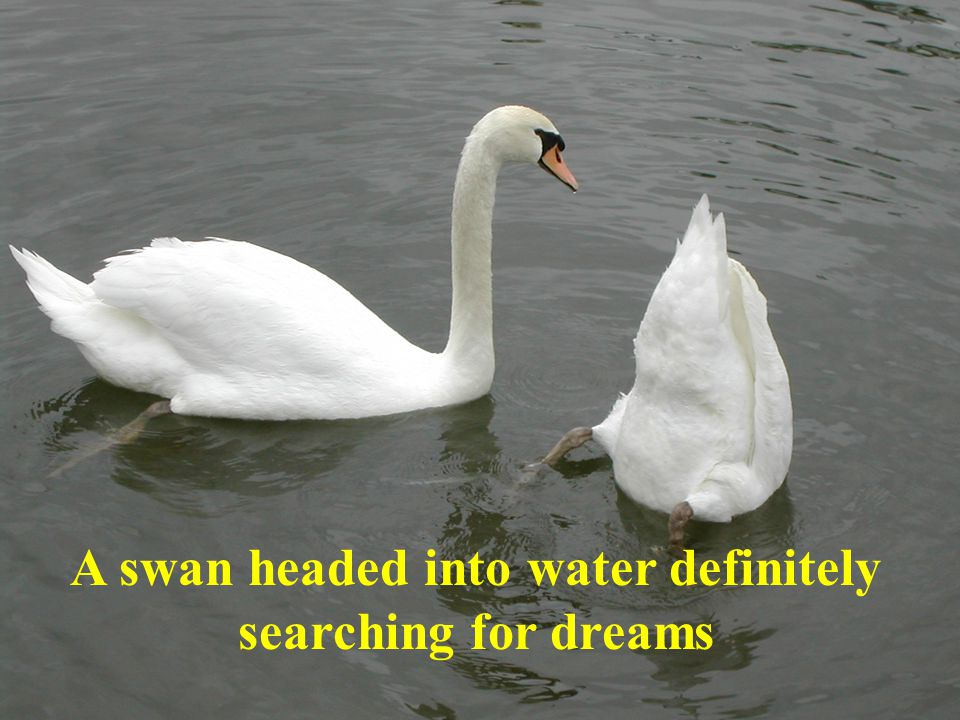 A swan headed into water definitely searching for dreams