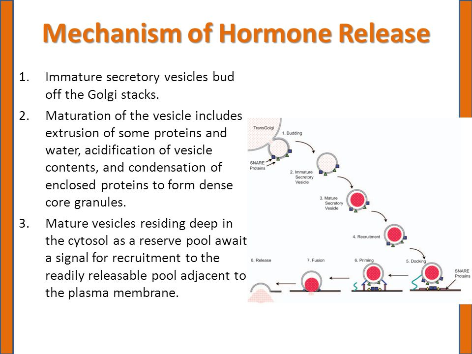 Mechanism of Hormone Release 1.Immature secretory vesicles bud off the Golgi stacks.