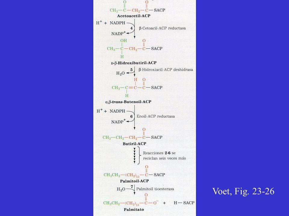 Voet, Fig. 23-26