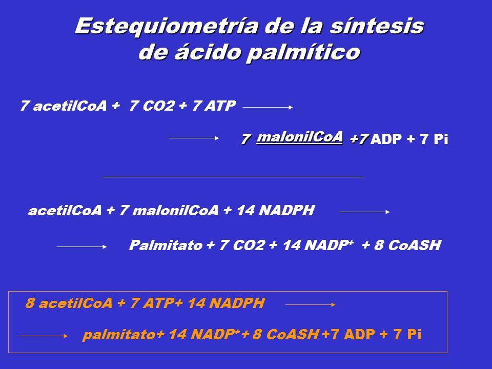 Estequiometría de la síntesis de ácido palmítico acetilCoA + 7 malonilCoA + 14 NADPH Palmitato + 7 CO2 + 14 NADP + + 8 CoASH 7 acetilCoA + 7 CO2 + 7 A