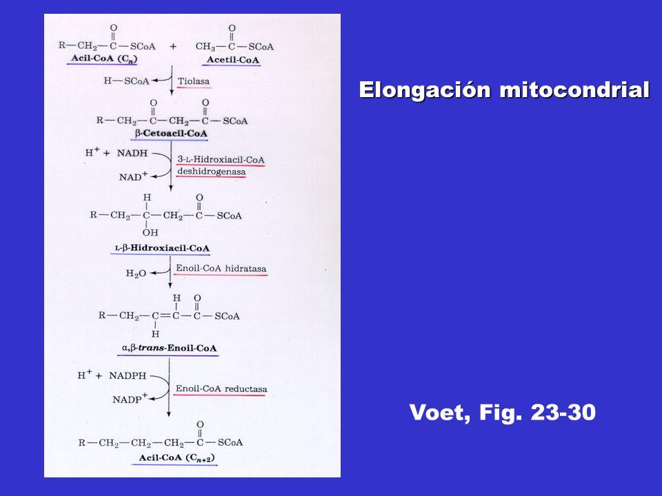 Voet, Fig. 23-30 Elongación mitocondrial
