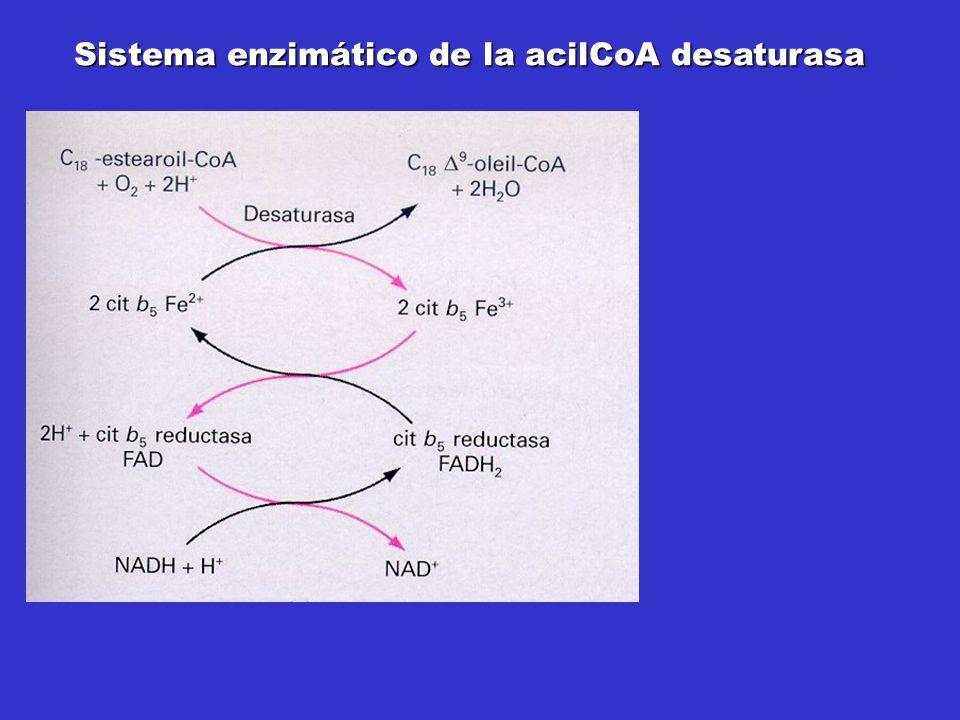 Sistema enzimático de la acilCoA desaturasa