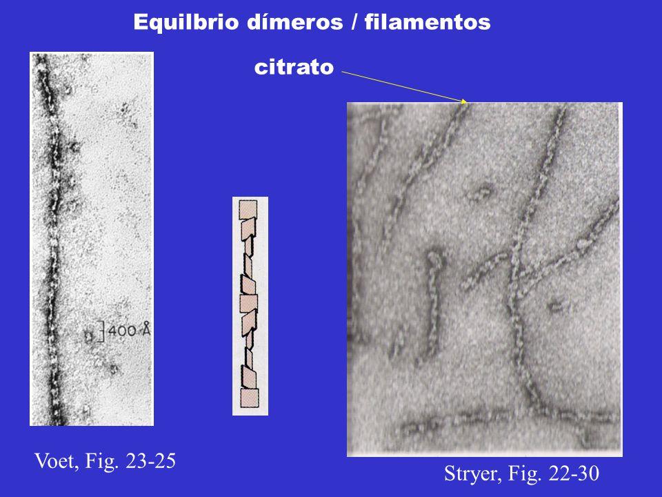 Equilbrio dímeros / filamentos Voet, Fig. 23-25 Stryer, Fig. 22-30 citrato