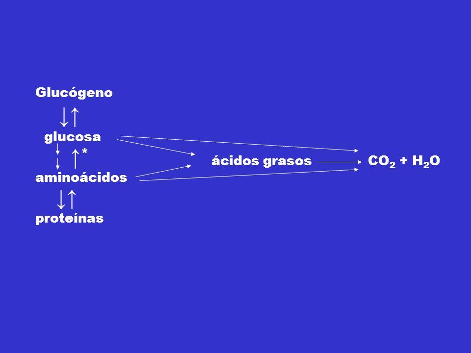 Glucógeno ↓↑ glucosa ↑ * aminoácidos ↓↑ proteínas ácidos grasos CO 2 + H 2 O * Leu y Lys