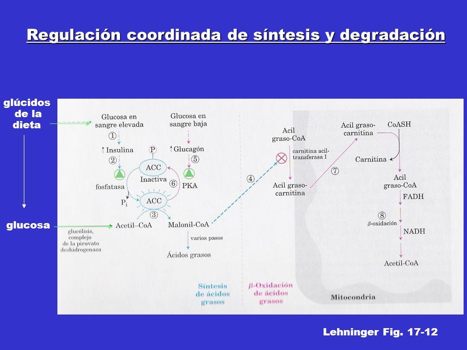Regulación coordinada de síntesis y degradación glúcidos de la dieta glucosa Lehninger Fig. 17-12