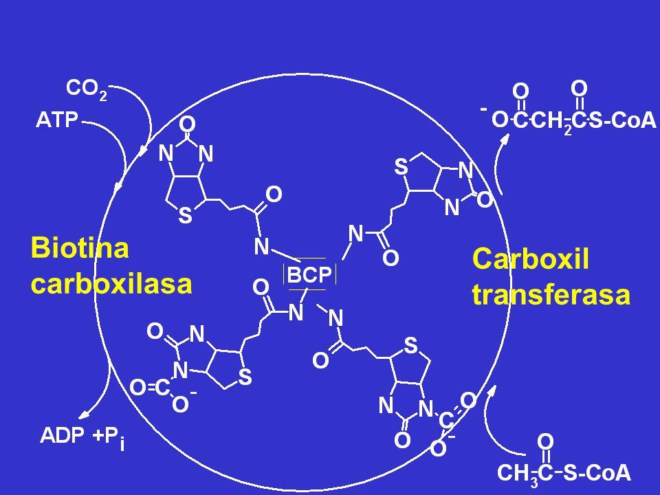 Biotina carboxilasa Carboxil transferasa