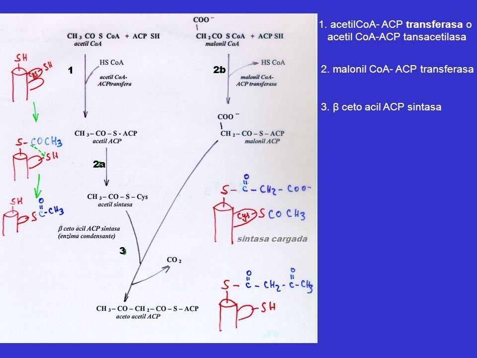 1. acetilCoA- ACP transferasa o acetil CoA-ACP tansacetilasa 2. malonil CoA- ACP transferasa 3. β ceto acil ACP sintasa 2a sintasa cargada 2b 1 3