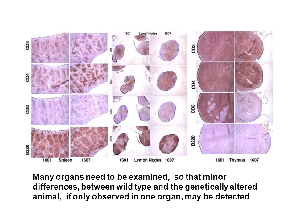 Many organs need to be examined, so that minor differences, between wild type and the genetically altered animal, if only observed in one organ, may be detected