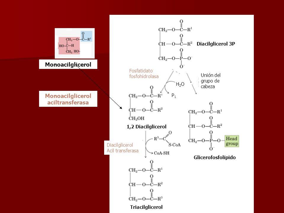 Fosfatidato fosfohidrolasa Diacilglicerol Acil transferasa 1,2 Diacilglicerol Triacilglicerol Glicerofosfolípido H2OH2O P1P1 Unión del grupo de cabeza