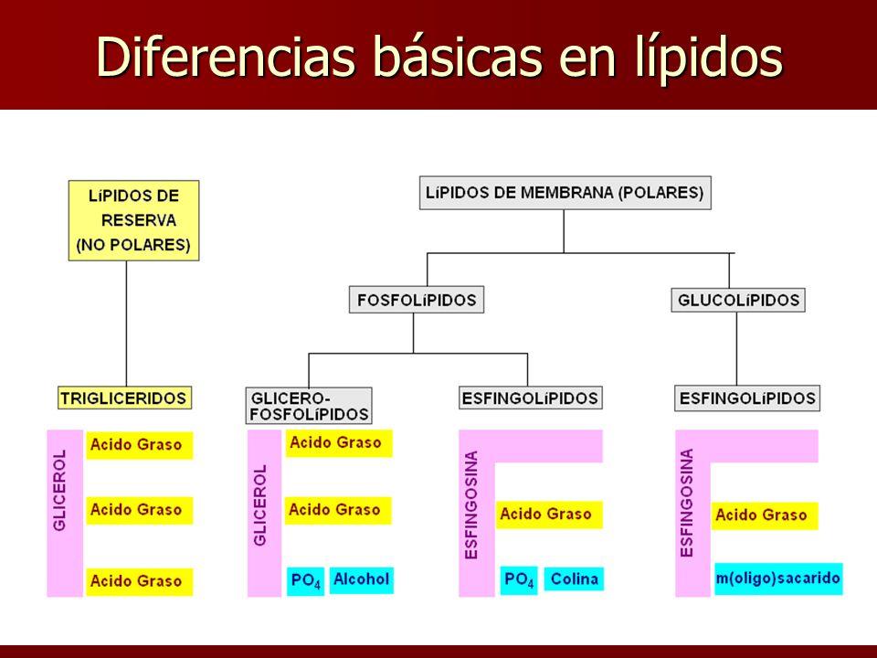 Diferencias básicas en lípidos