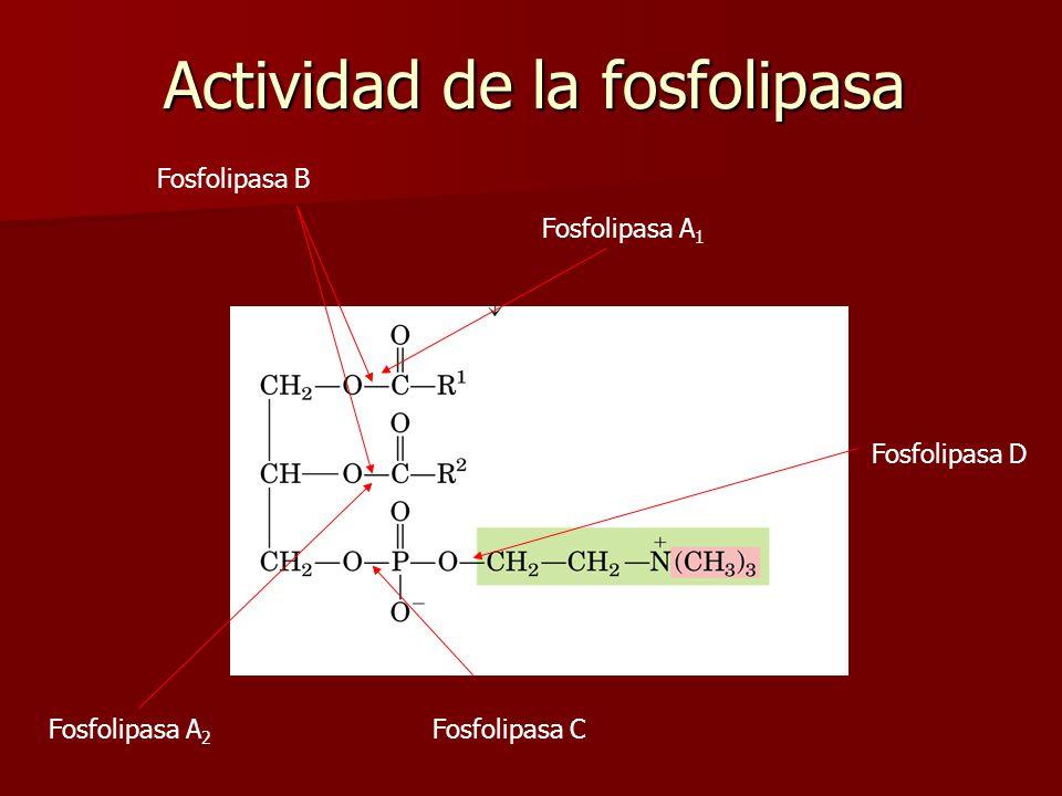 Fosfolipasa A 2 Fosfolipasa A 1 Fosfolipasa B Fosfolipasa C Fosfolipasa D Actividad de la fosfolipasa