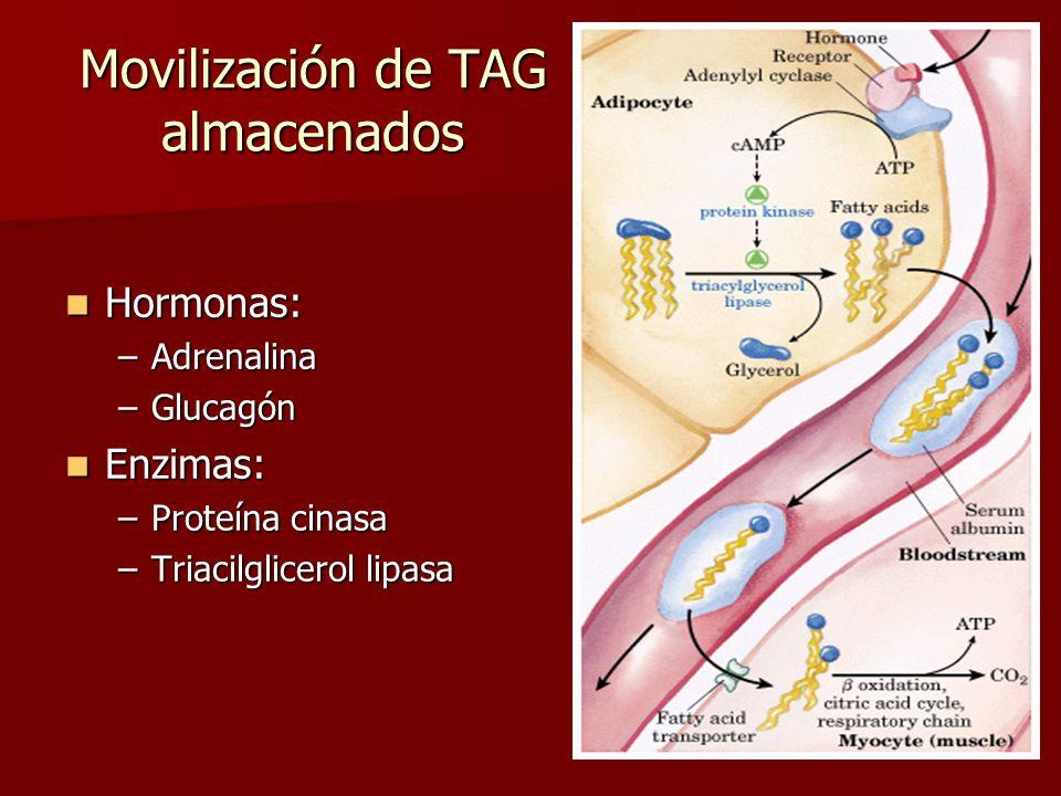 Movilización de TAG almacenados Hormonas: Hormonas: –Adrenalina –Glucagón Enzimas: Enzimas: –Proteína cinasa –Triacilglicerol lipasa