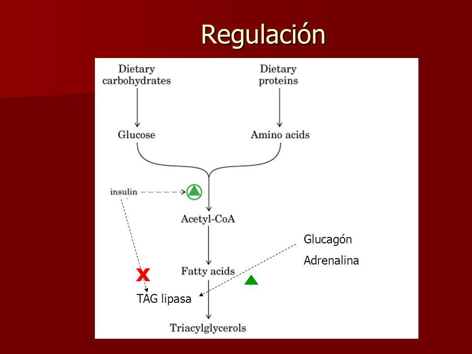 Regulación TAG lipasa x Glucagón Adrenalina