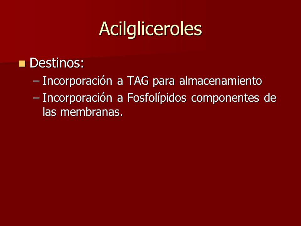 Acilgliceroles Destinos: Destinos: –Incorporación a TAG para almacenamiento –Incorporación a Fosfolípidos componentes de las membranas.