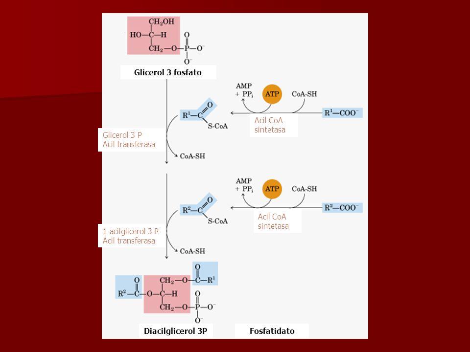 Glicerol 3 fosfato Fosfatidato Glicerol 3 P Acil transferasa 1 acilglicerol 3 P Acil transferasa Acil CoA sintetasa Diacilglicerol 3P