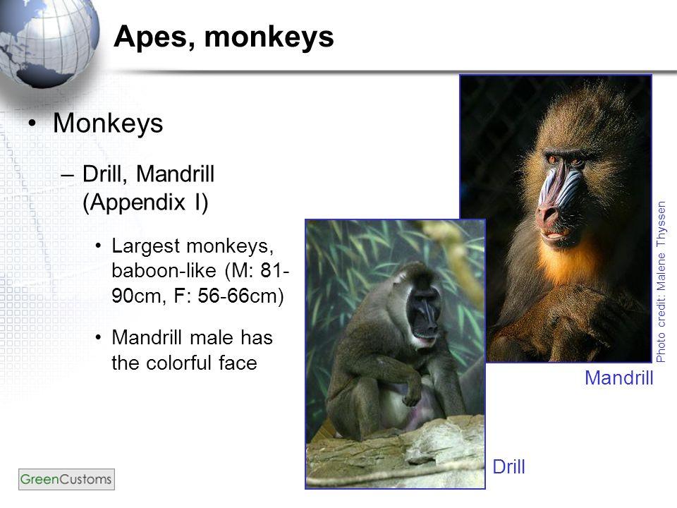 Apes, monkeys Monkeys –Drill, Mandrill (Appendix I) Largest monkeys, baboon-like (M: 81- 90cm, F: 56-66cm) Mandrill male has the colorful face Photo credit: Malene Thyssen Mandrill Drill