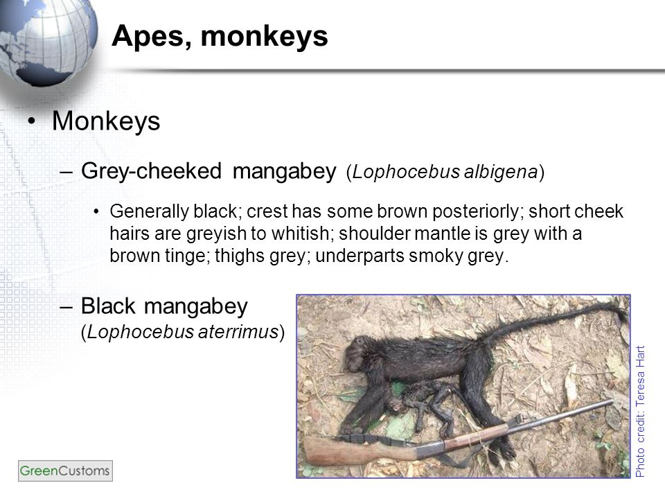 Apes, monkeys Monkeys –Grey-cheeked mangabey (Lophocebus albigena) Generally black; crest has some brown posteriorly; short cheek hairs are greyish to whitish; shoulder mantle is grey with a brown tinge; thighs grey; underparts smoky grey.