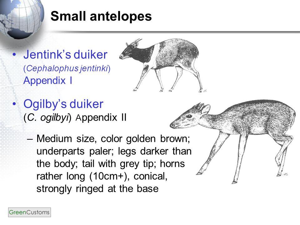 Small antelopes Jentink's duiker (Cephalophus jentinki) Appendix I Ogilby's duiker (C. ogilbyi) A ppendix II –Medium size, color golden brown; underpa