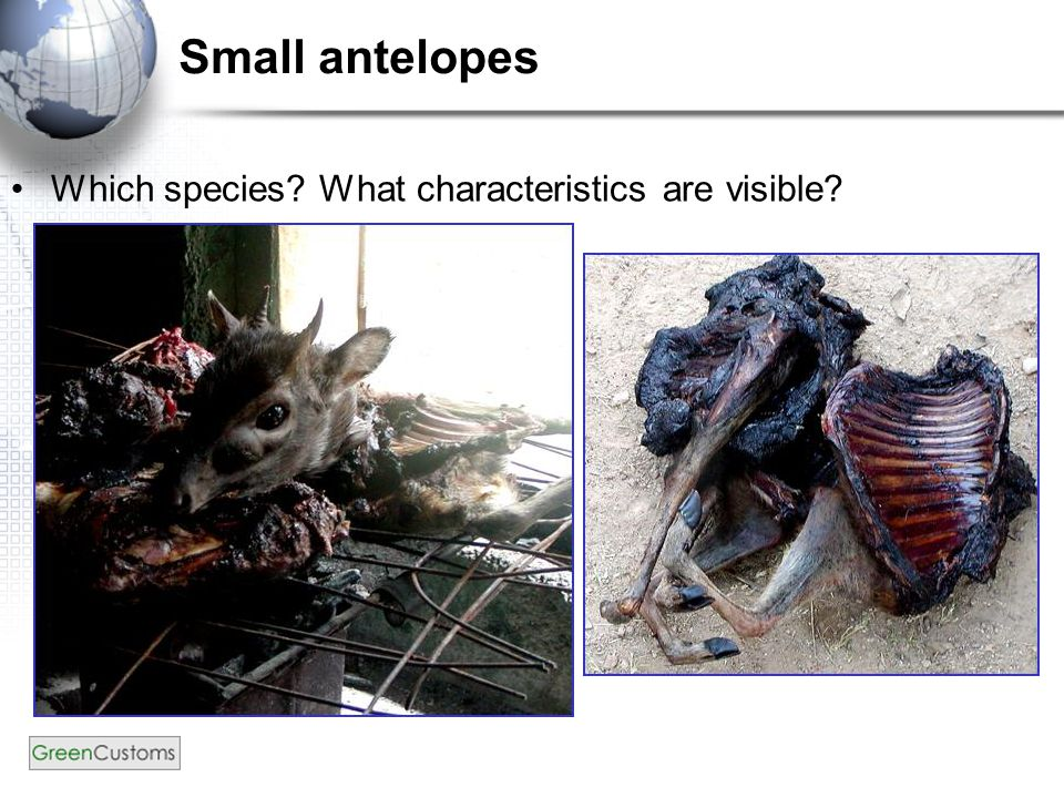 Small antelopes Which species? What characteristics are visible?
