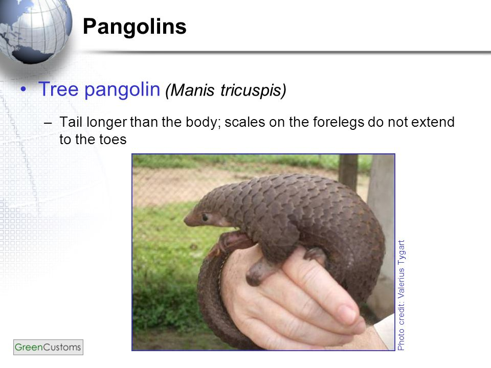 Pangolins Tree pangolin (Manis tricuspis) –Tail longer than the body; scales on the forelegs do not extend to the toes Photo credit: Valerius Tygart
