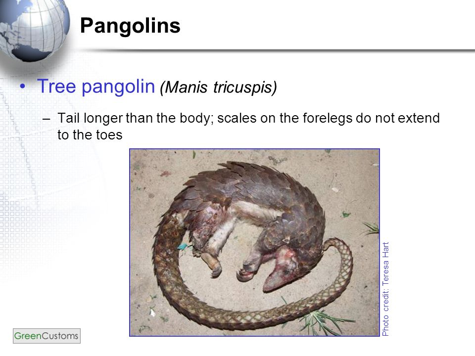 Pangolins Tree pangolin (Manis tricuspis) –Tail longer than the body; scales on the forelegs do not extend to the toes Photo credit: Teresa Hart
