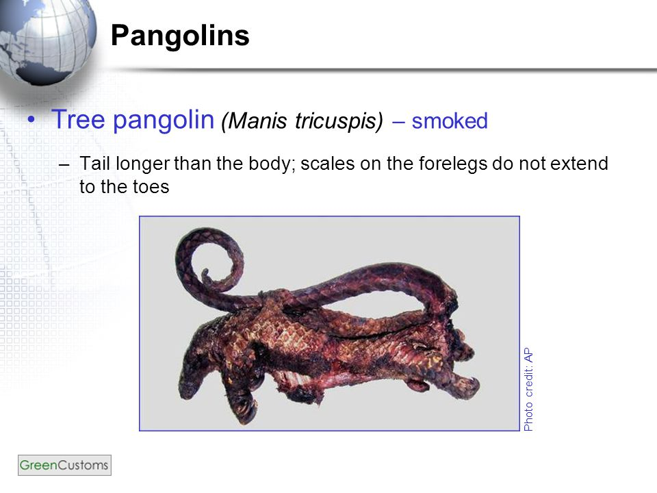 Pangolins Tree pangolin (Manis tricuspis) – smoked –Tail longer than the body; scales on the forelegs do not extend to the toes Photo credit: AP