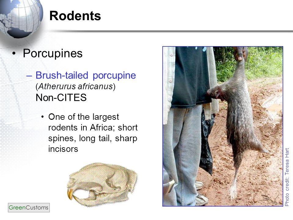 Rodents Porcupines –Brush-tailed porcupine (Atherurus africanus) Non-CITES One of the largest rodents in Africa; short spines, long tail, sharp inciso