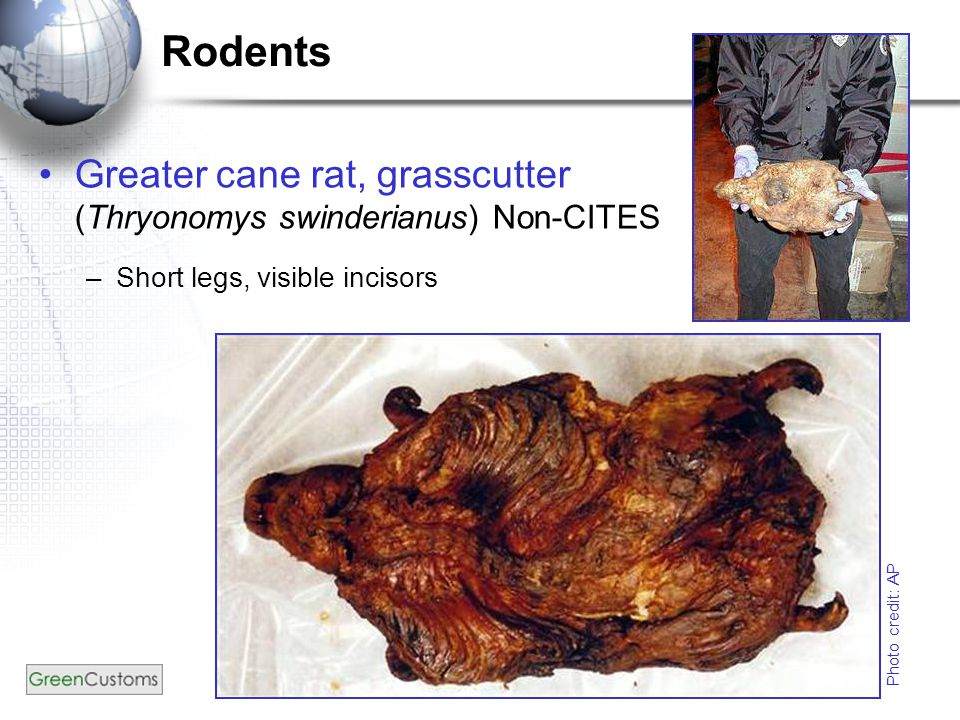 Greater cane rat, grasscutter (Thryonomys swinderianus) Non-CITES –Short legs, visible incisors Photo credit: AP