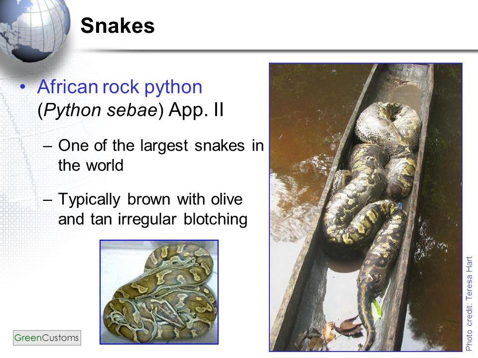Snakes African rock python (Python sebae) App.