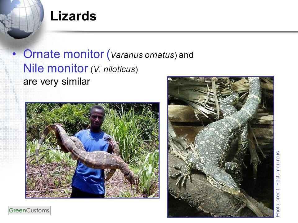 Lizards Ornate monitor ( Varanus ornatus) and Nile monitor (V.