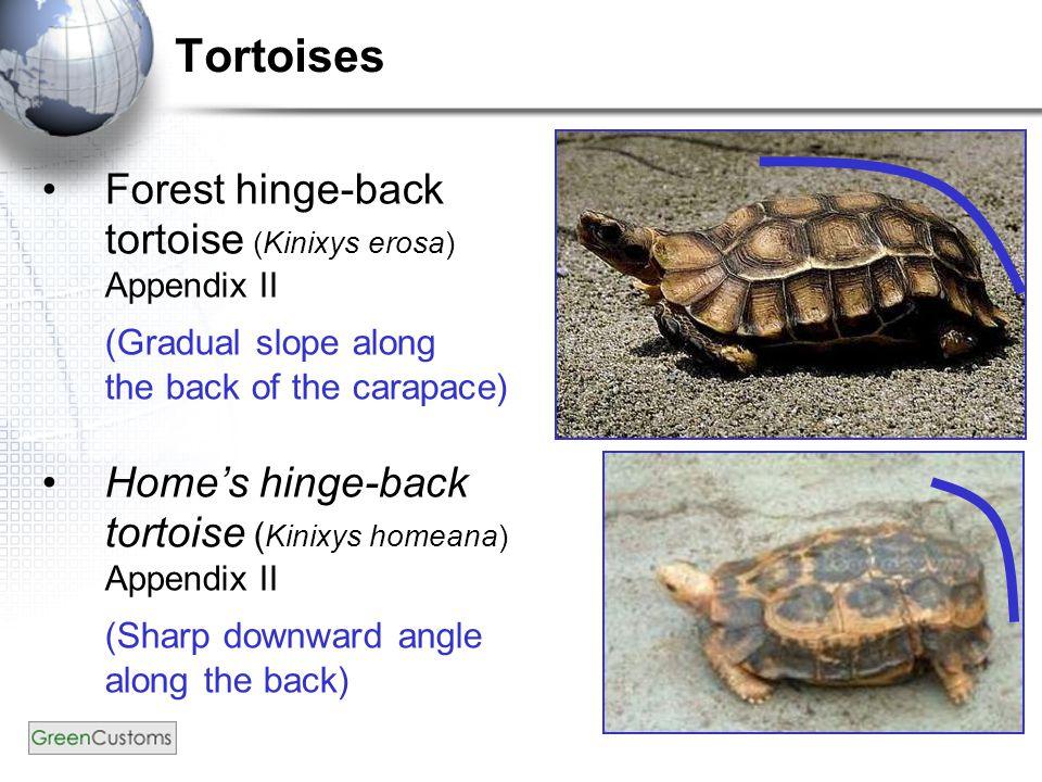 Forest hinge-back tortoise (Kinixys erosa) Appendix II (Gradual slope along the back of the carapace) Home's hinge-back tortoise ( Kinixys homeana) Appendix II (Sharp downward angle along the back) Tortoises