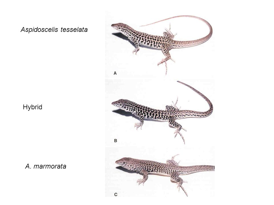 Aspidoscelis tesselata Hybrid A. marmorata