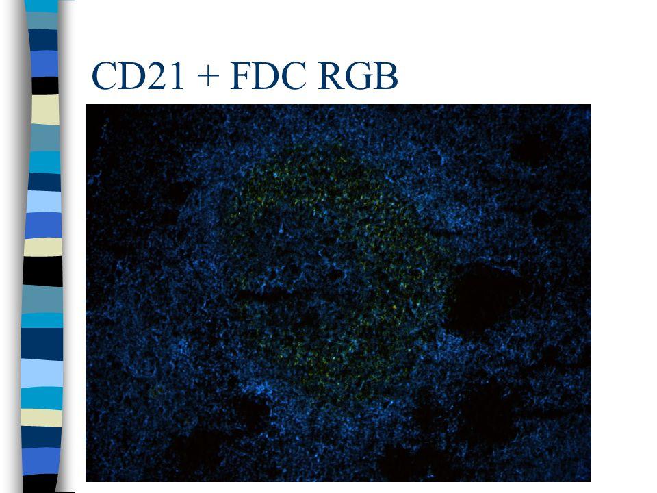 CD21 + FDC RGB