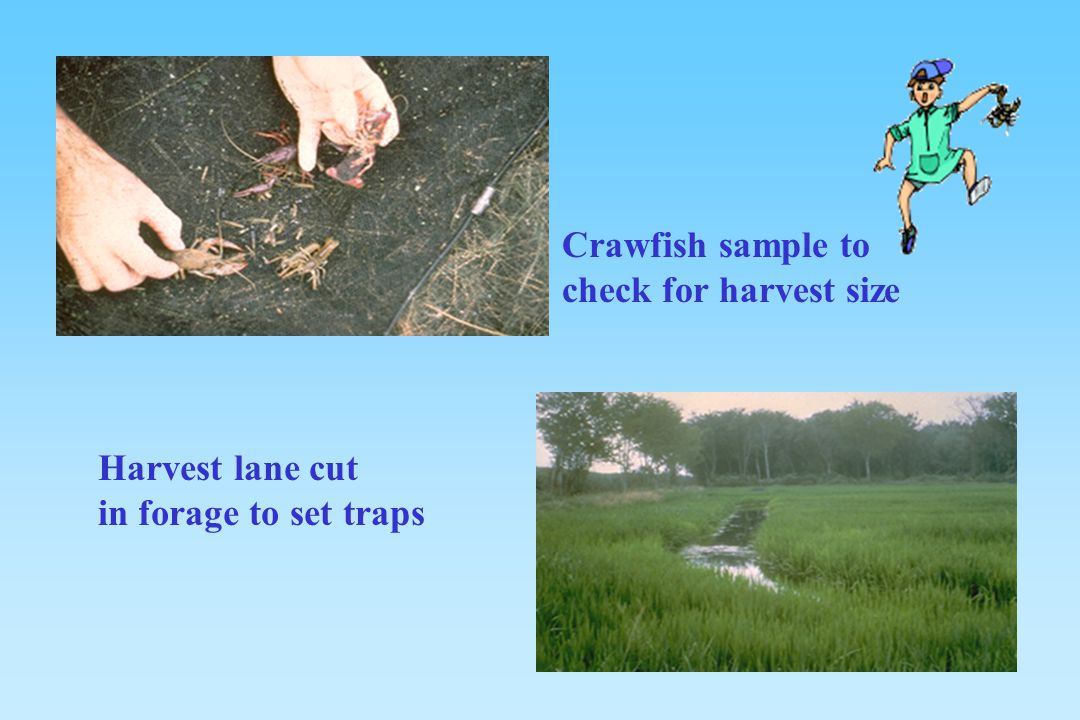 Crawfish sample to check for harvest size Harvest lane cut in forage to set traps