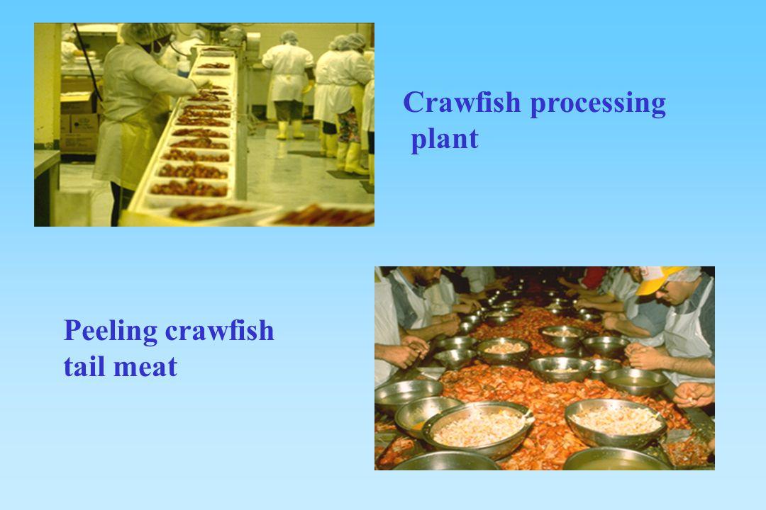 Crawfish processing plant Peeling crawfish tail meat