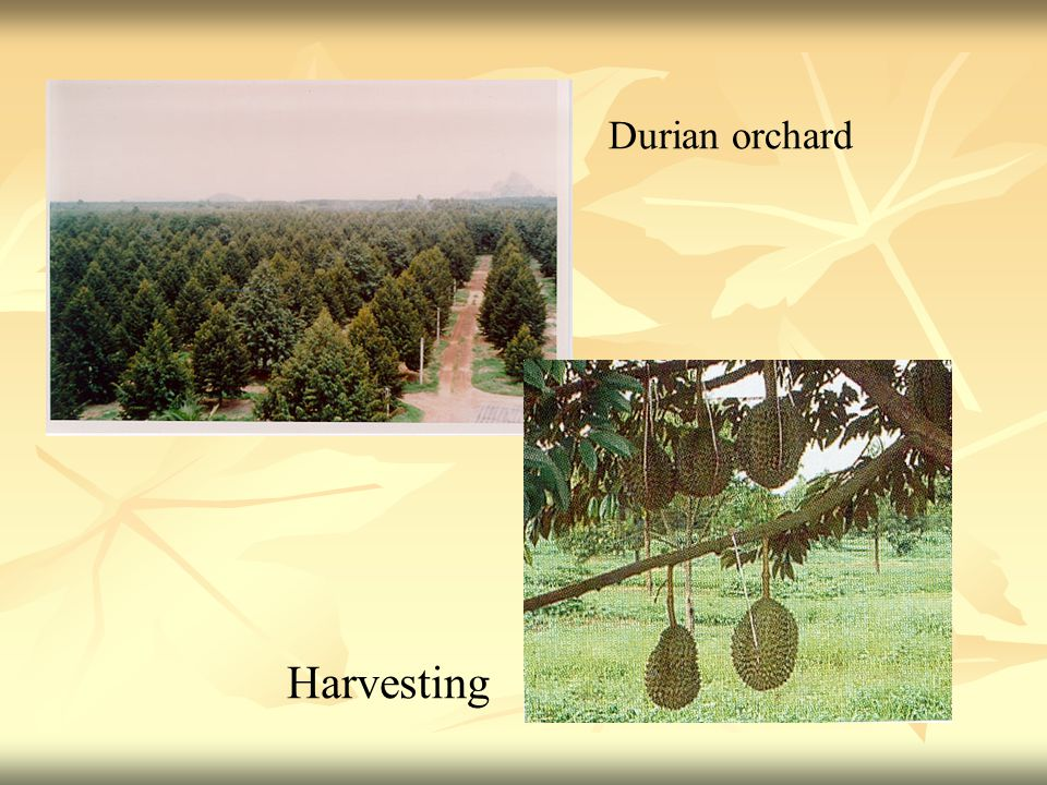 Harvesting Durian orchard