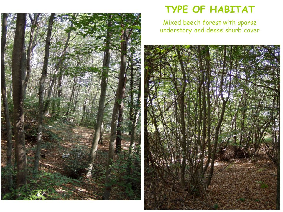TYPE OF HABITAT Mixed beech forest with sparse understory and dense shurb cover