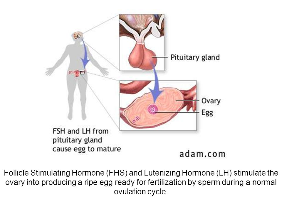 Follicle Stimulating Hormone (FHS) and Lutenizing Hormone (LH) stimulate the ovary into producing a ripe egg ready for fertilization by sperm during a