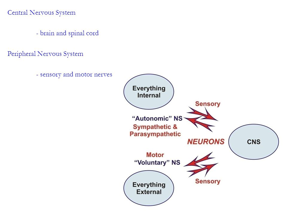 Central Nervous System - brain and spinal cord Peripheral Nervous System - sensory and motor nerves